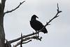 April 20, 2012 (Babcock-Webb State Wildlife Management Area / Punta Gorda, Charlotte County, Florida) -- Black Vulture