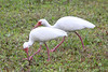 April 21, 2012 (Bunche Beach [gas station on John Morris Road] / Fort Myers, Lee County, Florida) -- White Ibis