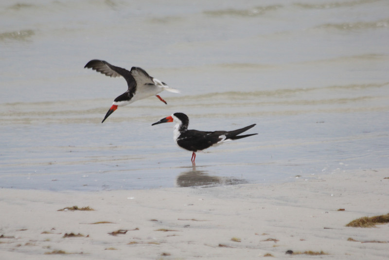 April 21, 2012 (Bunche Beach / Fort Myers, Lee County, Florida) -- Black Skimmers