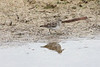 April 21, 2012 (Harnes Marsh / Lehigh Acres, Lee County, Florida) -- Least Sandpiper