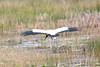 Wood Stork @ Harns Marsh