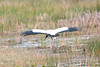 Wood Stork @ Harns Marsh