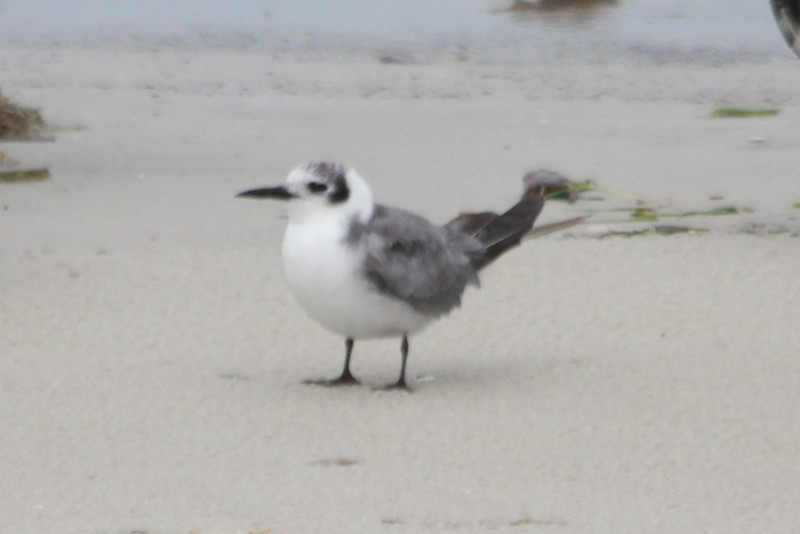 April 21, 2012 (Bunche Beach / Fort Myers, Lee County, Florida) -- A lone, single, little, Black Tern among all the large Terns and Skimmers