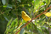 April 24, 2012, (Dry Tortugas National Park [inside Fort Jefferson near bubbler] / Garden Key, Monroe County, Florida) -- Male Yellow Warbler