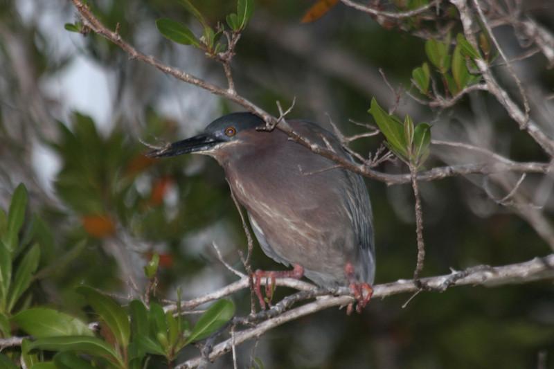 April 25, 2012, (Blue Hole [from boardwalk] / Big Pine Key, Monroe County, Florida) -- Green Heron at night