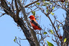 April 24, 2012, (Dry Tortugas National Park [inside Fort Jefferson in trees over grounds] / Garden Key, Monroe County, Florida) -- Scarlet Tanager