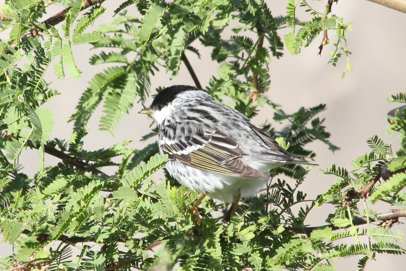 April 25, 2012, (Fort Zachary Taylor State Park / Key West, Monroe County, Florida) -- Male Blackpoll Warbler