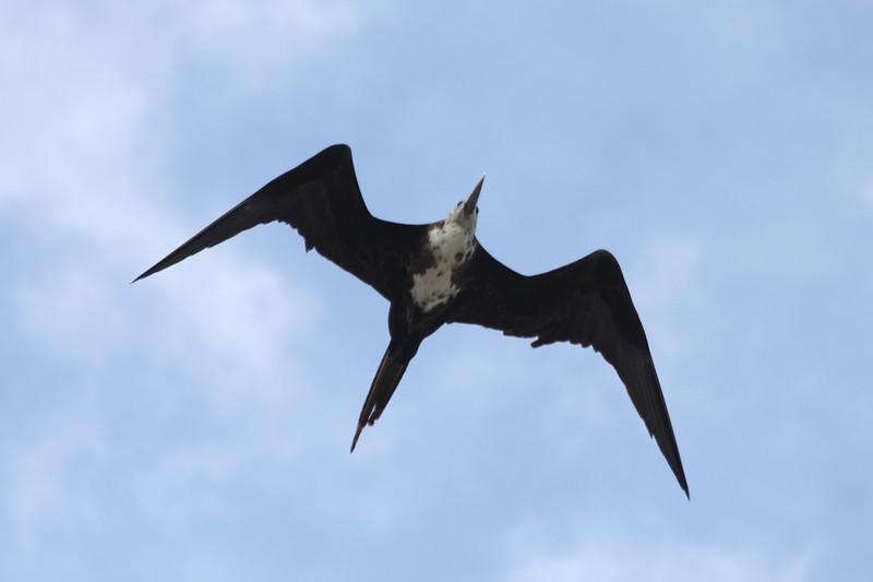 April 28, 2012 (Sanibel Lighthouse / Sanibel Island, Lee County, Florida) -- Female Magnificent Frigatebird