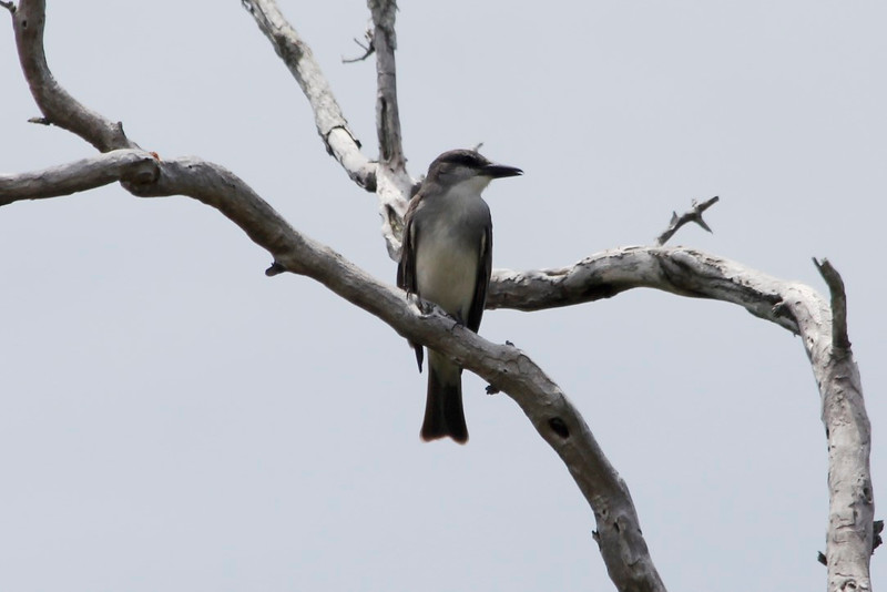 Gray Kingbird @ JN Ding Darling NWR
