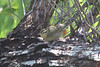 April 24, 2012, (Dry Tortugas National Park [inside Fort Jefferson near bubbler] / Garden Key, Monroe County, Florida) -- Worm-eating Warbler