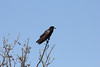 April 23, 2012 (Everglades National Park [near Shark Valley observation tower] / Miami-Dade County, Florida) -- Fish Crow