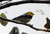 April 23, 2012, (Fort Zachary Taylor State Park / Key West, Monroe County, Florida) -- Black-throated Green Warbler