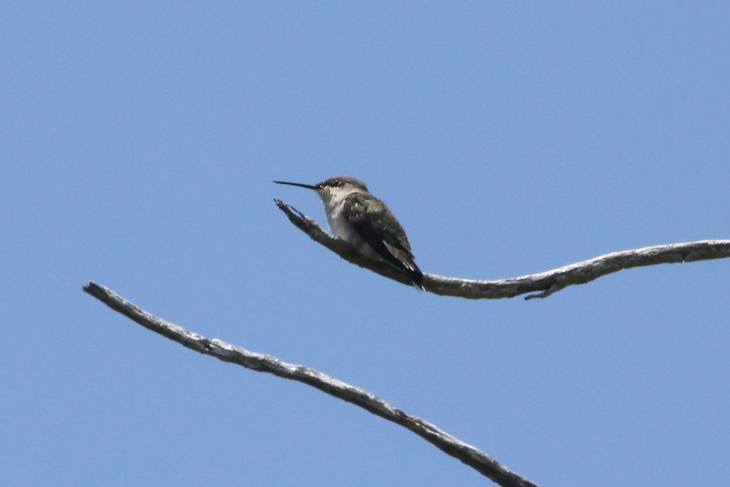 April 24, 2012, (Dry Tortugas National Park [inside Fort Jefferson in trees over grounds] / Garden Key, Monroe County, Florida) -- Female Ruby-throated Hummingbird