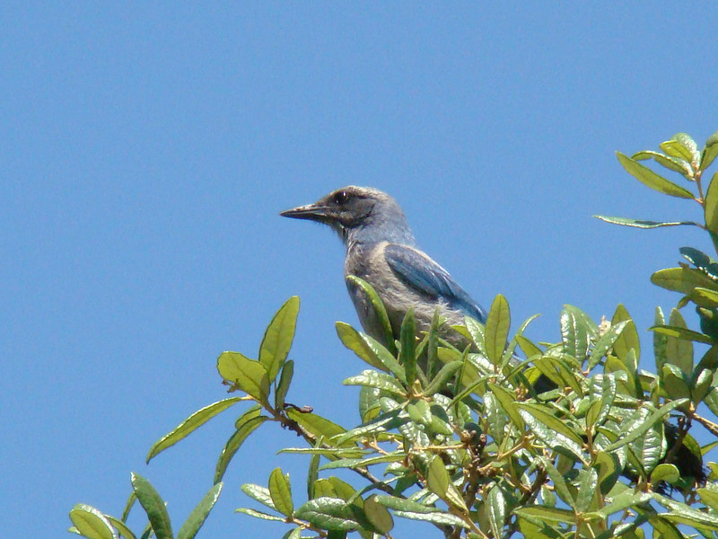 April 27, 2012, (Near Archbold Biological Research Station / Venus, Highlands County, Florida) -- Florida Scrub Jay [photo taken by Ken Tarbox]
