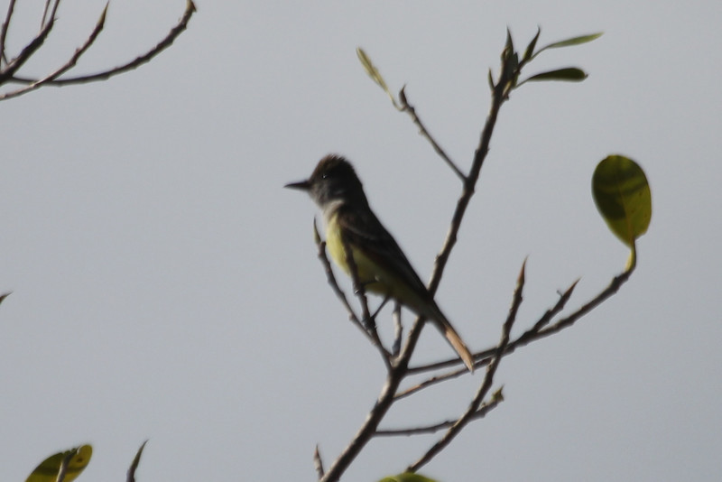 April 26, 2012, (Windley Key Fossil Reef Geological State Park / Windley Key, Monroe County, Florida) -- Great-crested Flycatcher