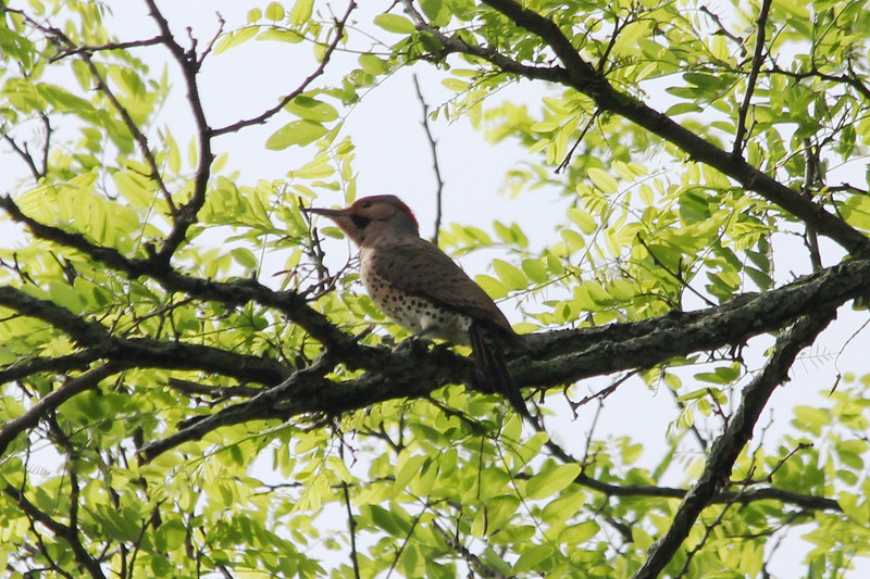 """Yellow-shafted"" Northern Flicker @ Harns Marsh"