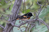 April 23, 2012, (Fort Zachary Taylor State Park / Key West, Monroe County, Florida) -- Male American Redstart
