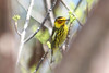 April 23, 2012, (Windley Key Fossil Reef Geological State Park / Windley Key, Monroe County, Florida) -- Male Cape May Warbler