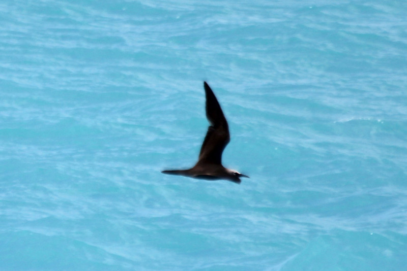 """April 24, 2012, (Dry Tortugas National Park [from """"Yankee Freedom II""""] / Monroe County, Florida) -- Brown Noddy"""