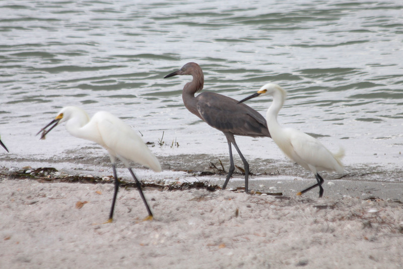 April 28, 2012 (Sanibel Lighthouse near restrooms] / Sanibel Island, Lee County, Florida) -- Snowy Egrets and Reddish Egret