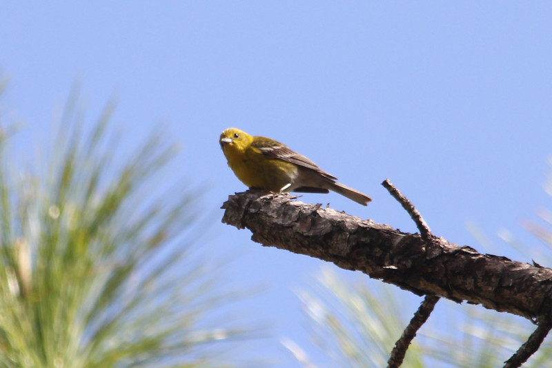 April 22, 2012 (Babcock-Webb State Wildlife Management Area / Punta Gorda, Charlotte County, Florida) -- Pine Warbler