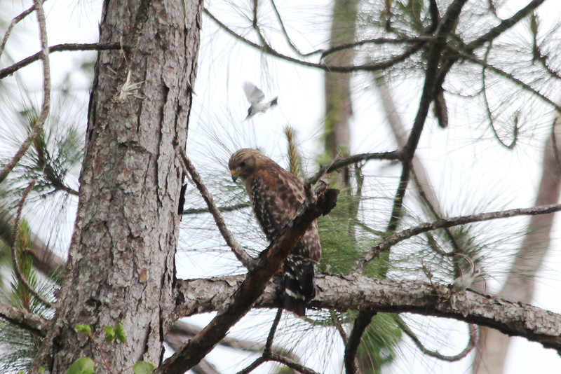 April 22, 2012 (Corkscrew Swamp Sanctuary [from boardwalk] / Collier County, Florida) -- Red-shouldered Hawk being mobbed [dive-bombed] by tiny Blue-gray Gnatcatcher