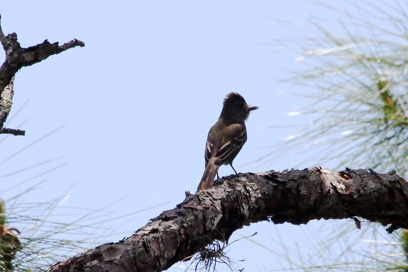 April 22, 2012 (Corkscrew Swamp Sanctuary [boardwalk] / Collier County, Florida) -- Great-crested Flycatcher