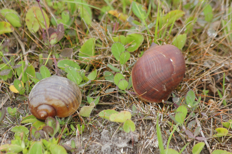 Shells of Apple Snails @ Harns Marsh