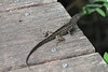 April 22, 2012 (Corkscrew Swamp Sanctuary [boardwalk] / Collier County, Florida) -- Small Lizard