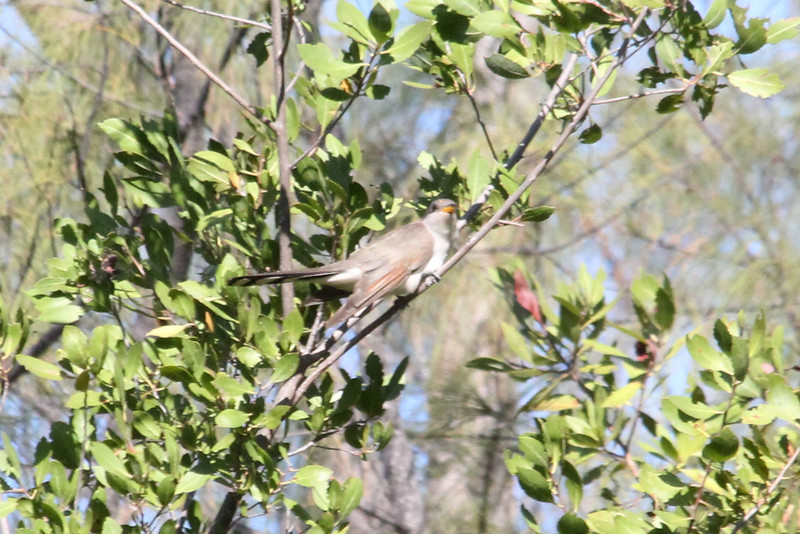 April 25, 2012, (Fort Zachary Taylor State Park / Key West, Monroe County, Florida) -- Yellow-billed Cuckoo