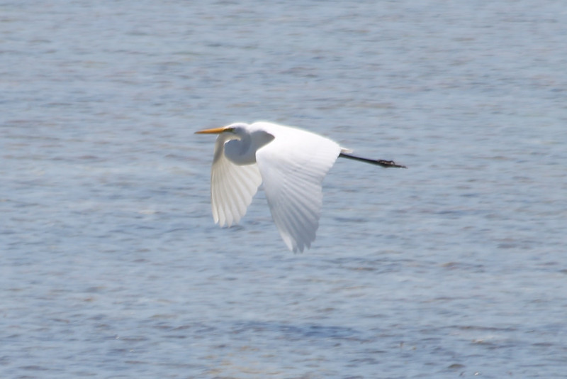 April 25, 2012, (Lower Sugarloaf Sound / Sugarloaf Key, Monroe County, Florida) -- Great Egret