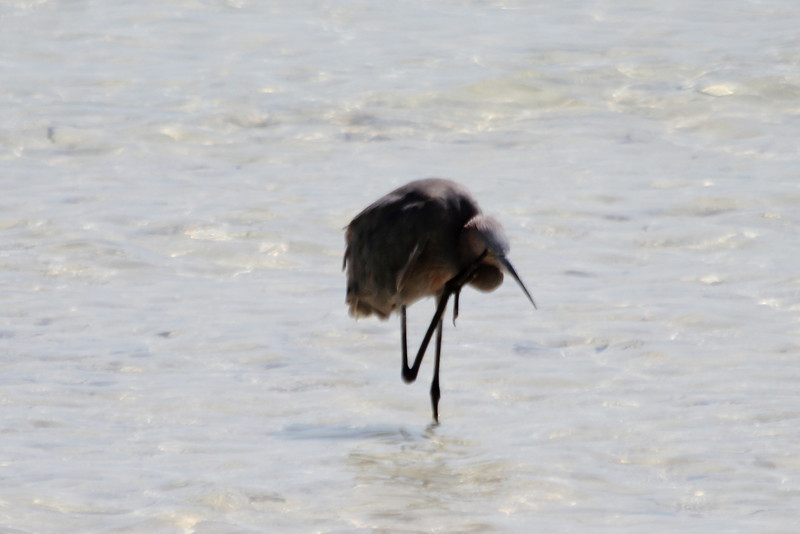 April 25, 2012, (Bahia Honda State Park [at roadside bridge] / Bahia Honda Key, Monroe County, Florida) -- Reddish Egret