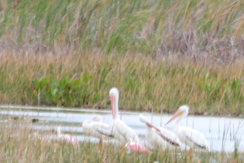 American White Pelicans with Roseate Spoonbills @ Harns Marsh