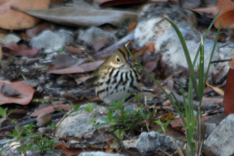 April 25, 2012, (Fort Zachary Taylor State Park / Key West, Monroe County, Florida) -- Ovenbird