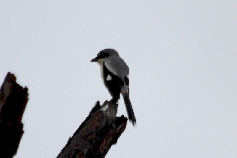 April 22, 2012 (Babcock-Webb State Wildlife Management Area / Punta Gorda, Charlotte County, Florida) -- Loggerhead Shrike