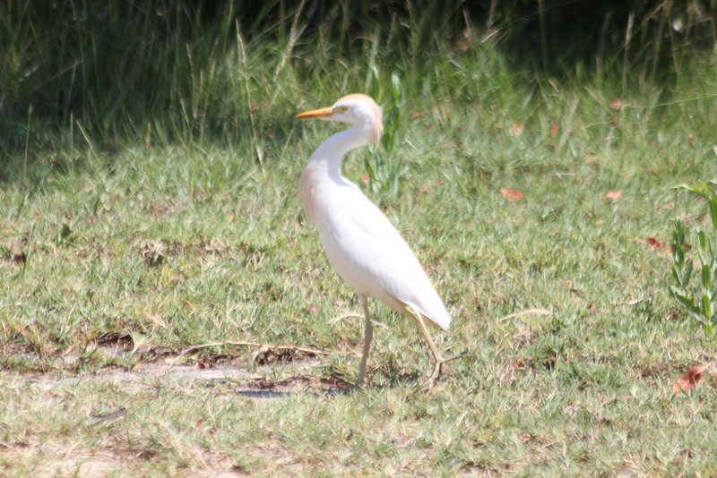 April 24, 2012, (Dry Tortugas National Park [inside Fort Jefferson on grounds] / Garden Key, Monroe County, Florida) -- Cattle Egret