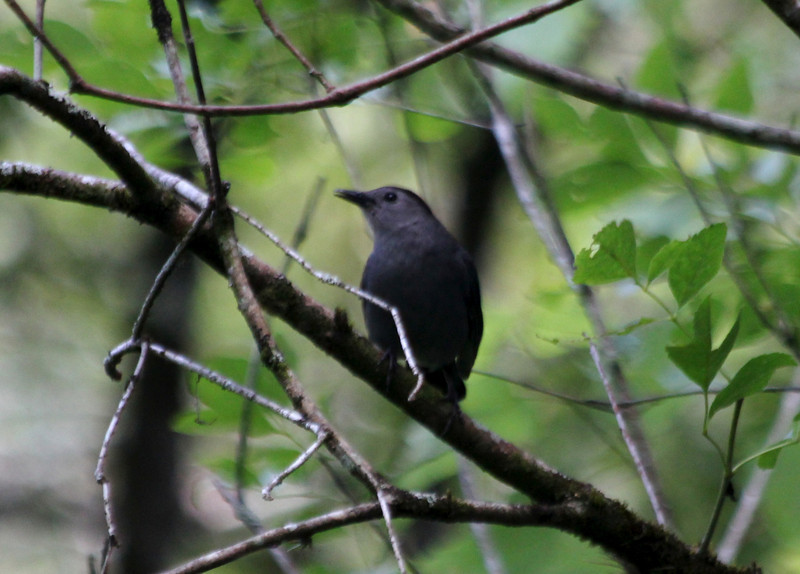 April 22, 2012 (Corkscrew Swamp Sanctuary [from boardwalk] / Collier County, Florida) -- Gray Catbird