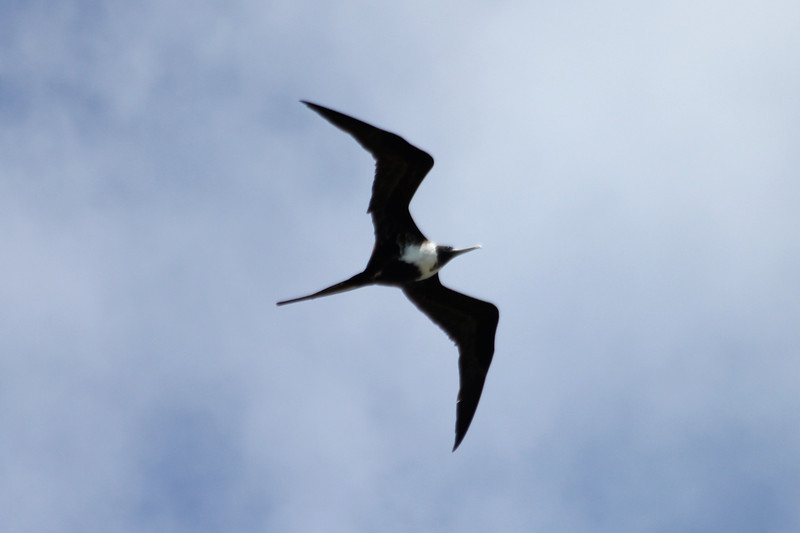 April 24, 2012, (Dry Tortugas National Park [from walls of Fort Jefferson] / Garden Key, Monroe County, Florida) -- Female Magnificent Frigatebird