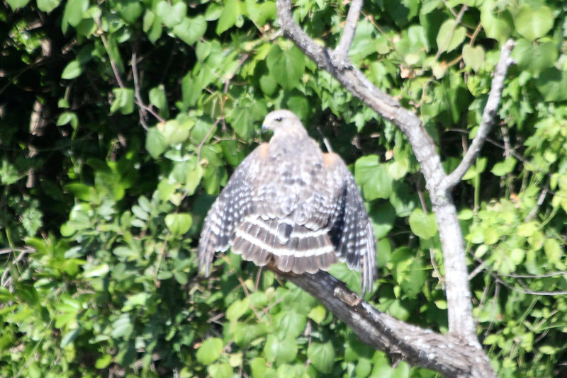 April 26, 2012, (Clyde Butcher Big Cypress Gallery [across the highway] / Collier County, Florida) -- Red-shouldered Hawk