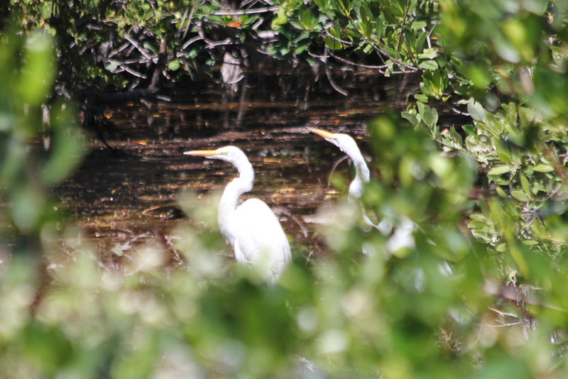April 25, 2012, (Bahia Honda State Park [at roadside bridge] / Bahia Honda Key, Monroe County, Florida) -- Great Egret