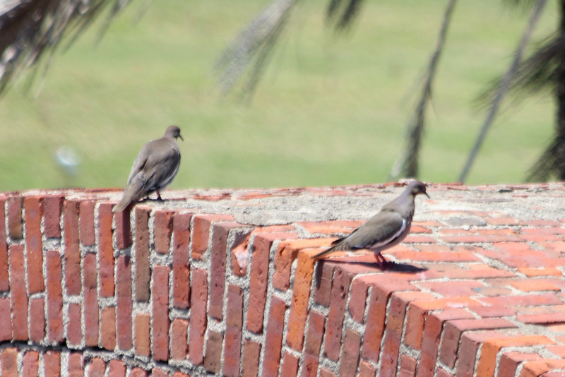 April 24, 2012, (Dry Tortugas National Park [from walls of Fort Jefferson] / Garden Key, Monroe County, Florida) -- White-winged Doves
