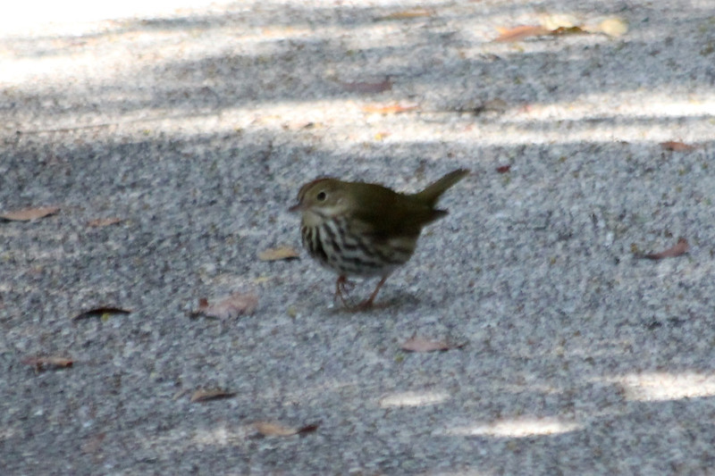 April 26, 2012, (Dagny Johnson Key Largo Hammock Botanical State Park / Key Largo, Monroe County, Florida) -- Ovenbird