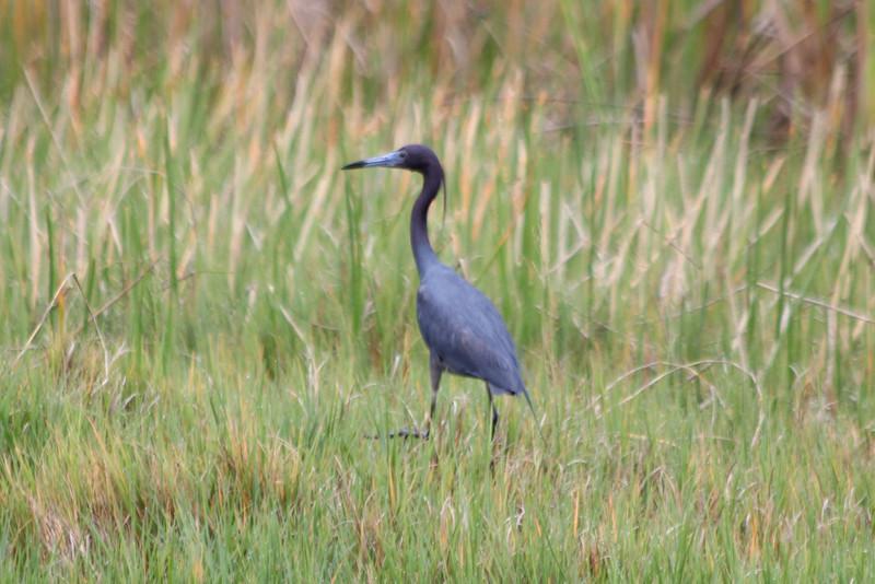 Little Blue Heron @ Harns Marsh