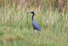 Little Blue Heron @ Harns Marsh