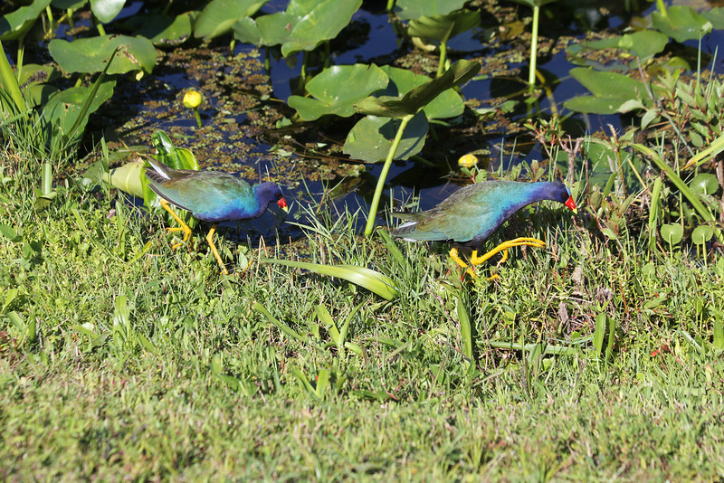 April 23, 2012 (Everglades National Park [near Shark Valley visitor center] / Miami-Dade County, Florida) -- Purple Gallinules
