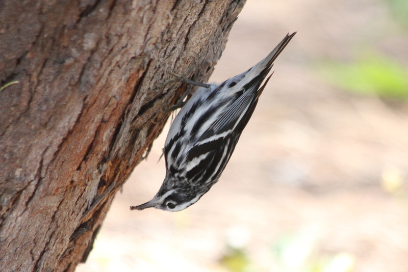 April 25, 2012, (Fort Zachary Taylor State Park / Key West, Monroe County, Florida) -- Black and White Warbler