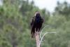Turkey Vulture @ Harns Marsh