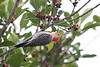 April 21, 2012 (Lakes Regional Park / Fort Myers, Lee County, Florida) -- Red-bellied Woodpecker