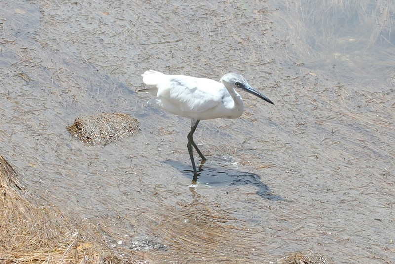"April 28, 2012 (JN Ding Darling National Wildlife Refuge [wildlife drive] / Sanibel Island, Lee County, Florida) -- ""White Morph"" Reddish Egret"