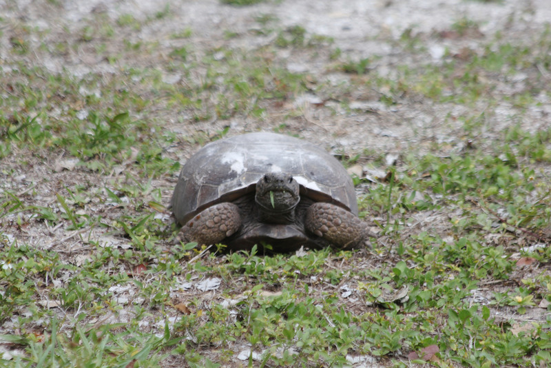 April 28, 2012 (Sanibel Lighthouse [near restrooms] / Sanibel Island, Lee County, Florida) -- Gopher Tortoise